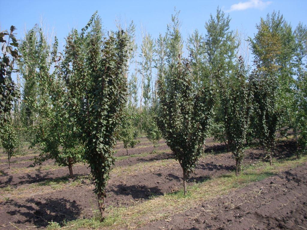 Интенсивное выращивание сливы 48